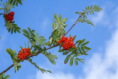 Red rowan tree in the end of summer. Nature background Stock Photo