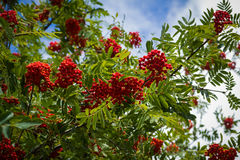 Red rowan tree in the end of summer. Nature background Stock Images