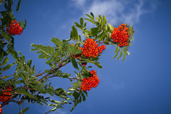 Red rowan tree in the end of summer Stock Images