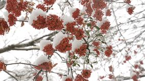 Red rowan tree with green leaves under the snow. Bunches of red mountain ash berries with green leaves under the snow stock video