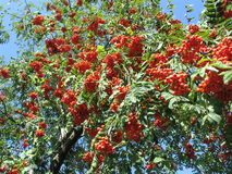 Red rowan .. Red rowan tree grows northern Ukraine and Russia. Very nice with red berries Stock Photography