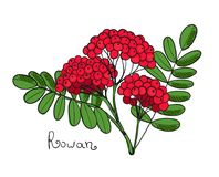 Red Rowan Tree. Isolated twig of rowanberry or ashberry. Leaves and cluster of Sorbus berry. Brunch of sorb. Illustration Royalty Free Stock Image