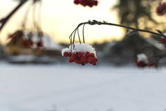 Red rowan under the snow at sunset royalty free stock photos
