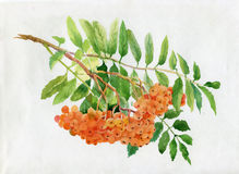 Red rowan watercolor illustration Royalty Free Stock Image