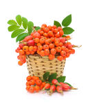 Red rowan and wild rose in a basket on a white background Royalty Free Stock Images