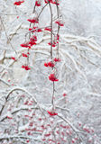 Red rowan in winter Royalty Free Stock Photography