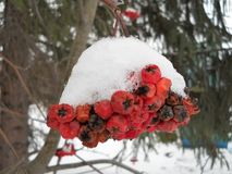 Red rowan in winter under the snow. royalty free stock image