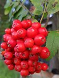 Rowanberries. Red rowanberries, automn season stock images