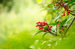 Red Rowanberries on a branch in summer stock photo