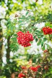 Red rowanberries in the forest.  stock photography