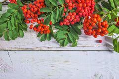 Red rowanberries with leaves on white paint background. With copy space royalty free stock photos