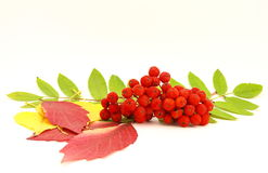 Red rowanberry Royalty Free Stock Photography
