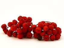 Red rowanberry Royalty Free Stock Images