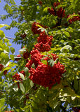 Red rowanberry. Royalty Free Stock Photo