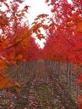 red rows trees Royaltyfri Fotografi