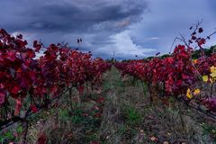 Red rows of vineyards in Ribatejo region during autumn season. A royalty free stock images
