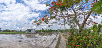 Red royal poinciana flowers bloom along the roadside land Stock Photo
