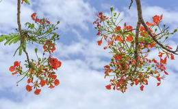 Red royal poinciana flowers bloom Royalty Free Stock Photo