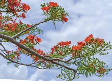 Red royal poinciana flowers bloom Royalty Free Stock Photography
