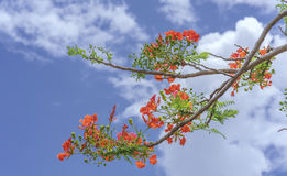 Red royal poinciana flowers bloom Stock Photo