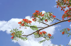 Red royal poinciana flowers bloom Stock Photos