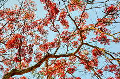 Red royal poinciana Royalty Free Stock Image