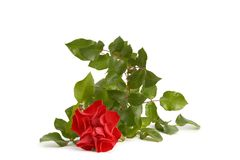 Red Roze Royalty Free Stock Photography