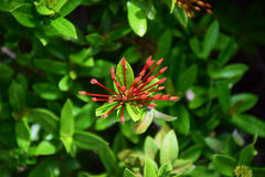 Red Rubiaceae flower. Stock Photos