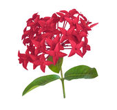 Red rubiaceae flower isolated Stock Image