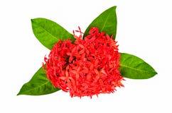 Red Rubiaceae flower Royalty Free Stock Image