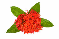 Red Rubiaceae flower. Isolated on white background Royalty Free Stock Photos