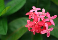 The red rubiaceae flower Stock Image
