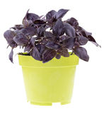 Red rubin basil in a pot. Fresh red rubin basil in a pot isolated over white stock images