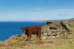 Red Ruby Devon cow cattle pedigree UK herd Stock Photos