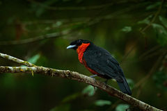 Red-ruffed Fruitcrow, Pyroderus scutatus, exotic rare tropic bird in the nature habitat, dark green forest, Otun, Colombia. Birdwa Royalty Free Stock Image