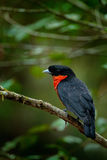 Red-ruffed Fruitcrow, Pyroderus scutatus, exotic rare tropic bird in the nature habite, dark green forest, Otun, Colombia Royalty Free Stock Images