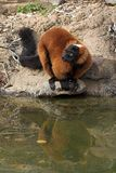 Red Ruffed Lemur. At watering hole Stock Image