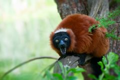 Red ruffed lemur Royalty Free Stock Image