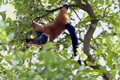 Red ruffed lemur Stock Image