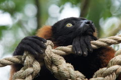 Red ruffed lemur. (Varecia rubra) in deep thought Royalty Free Stock Image