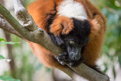 Red ruffed lemur. On the tree Royalty Free Stock Photos