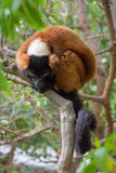 Red ruffed lemur Stock Photo