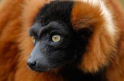 Red ruffed lemur Royalty Free Stock Photo