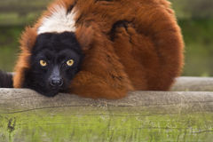 Red Ruffed Lemur. Resting on a piece of wood stock photos