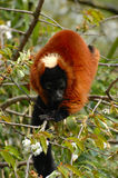 Red ruffed Lemur. Hanging in tree with blossoms royalty free stock photo