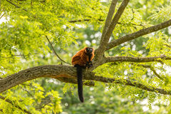 A red ruffed lemur in the Artis zoo in Amsterdam. A red ruffed lemur monkey in the Artis Zoo in Amsterdam the Netherlands royalty free stock photo
