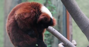Red ruffed lemur on a branch. In a zoo stock video