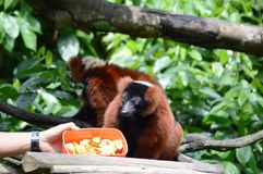 Red Ruffed Lemur Royalty Free Stock Photos