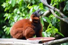 Red Ruffed Lemur Stock Image