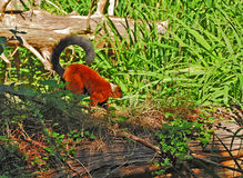 Red ruffed lemur with long curved tail. Red ruffed lemurs  Slender bodied and long legged, red ruffed lemurs have a narrow, fox-like snout and small ears that Royalty Free Stock Photos